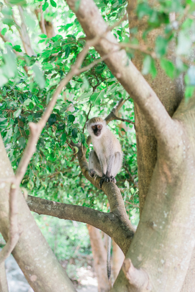 Monkey Mwanza Tanzania